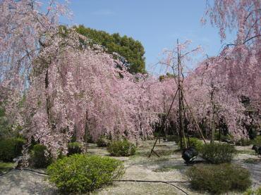 咲き誇るしだれ桜