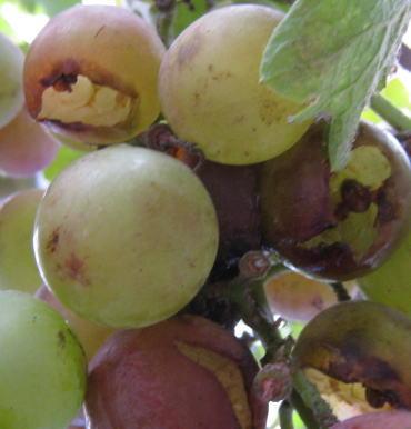 食べられた葡萄