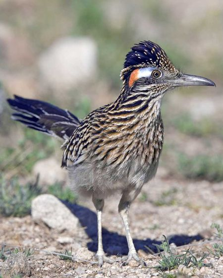 Greater_Roadrunner_b13-45-099_l_1.jpg