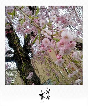 MUJIる ブログ 桜 画像