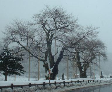 2月12日の荘川桜