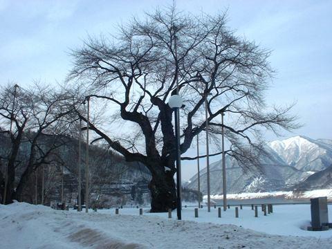 平成20年2月22日の荘川桜