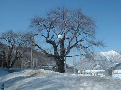 本日の荘川桜