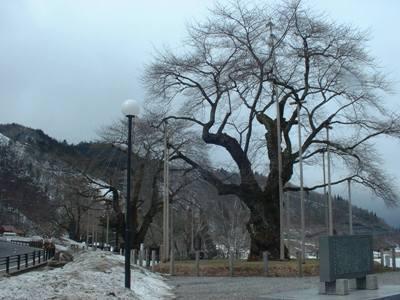 平成20年3月20日の荘川桜