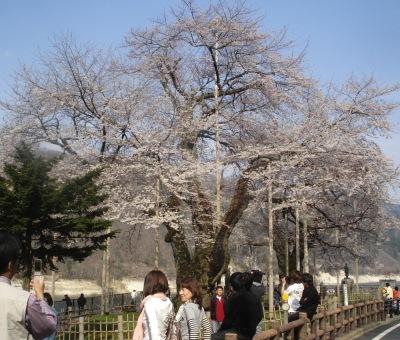 平成20年4月27日午後の荘川桜
