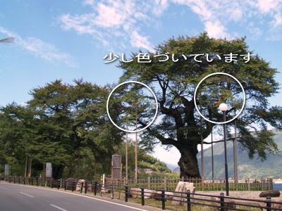 平成20年10月1日の荘川桜