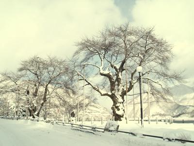 平成20年12月27日の荘川桜