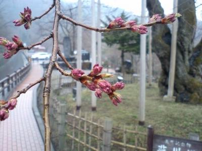 平成21年4月14日の荘川桜