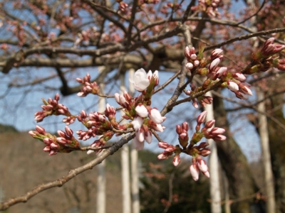 平成21年4月19日の荘川桜