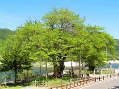 平成21年5月18日の荘川桜(新緑)