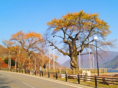 紅葉の荘川桜