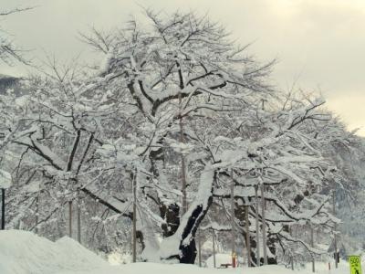 平成22年1月3日の雪化粧された荘川桜