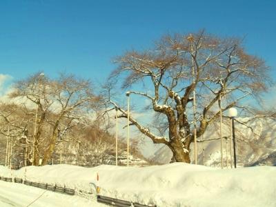 平成22年1月24日の荘川桜