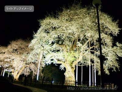荘川桜ライトアップイメージ