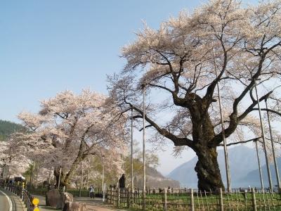 平成22年5月5日の荘川桜