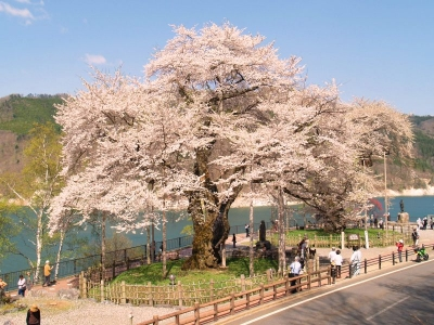 平成22年5月6日の荘川桜