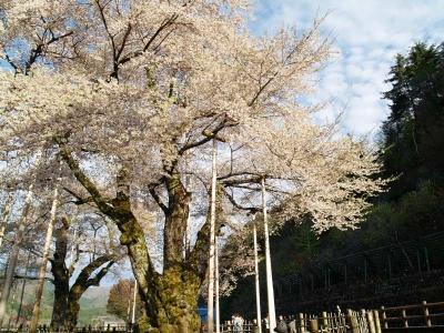平成22年5月7日の荘川桜