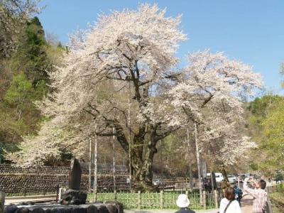 平成22年5月8日の荘川桜