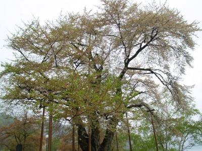 平成22年5月11日の荘川桜