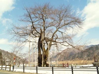 平成23年3月22日の荘川桜