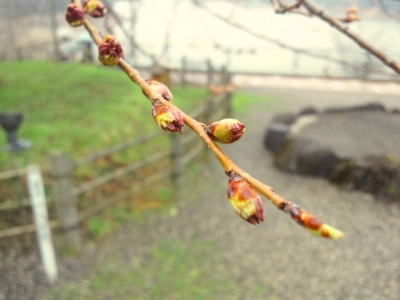 平成23年4月26日の荘川桜