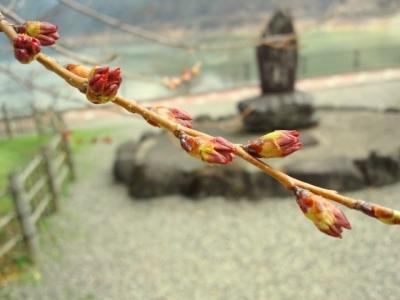 平成23年4月27日の荘川桜