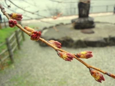 平成23年4月30日の荘川桜