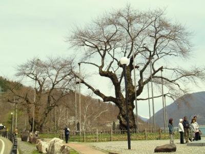 平成23年5月5日の荘川桜