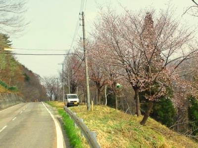 平成23年5月6日の国道156号線沿の桜