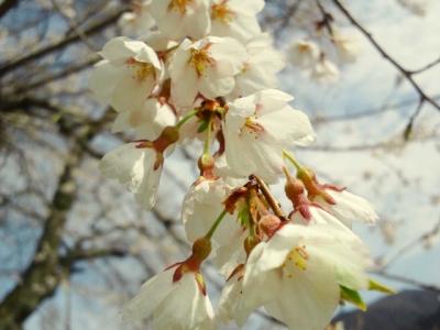 平成23年5月9日の荘川桜