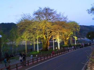 平成23年5月14日の荘川桜ライトアップ