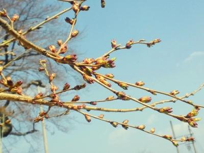 平成24年4月24日の荘川桜