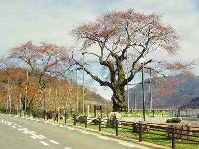 平成24年4月27日の荘川桜