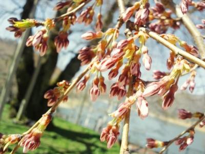 平成23年4月28日の荘川桜