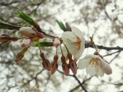 平成24年4月29日の荘川桜
