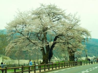 平成24年4月30日の荘川桜