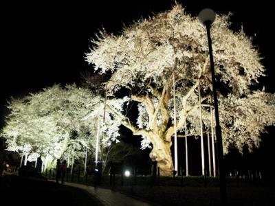 平成24年5月2日の荘川桜ライトアップ