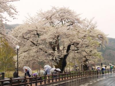 平成24年5月2日の荘川桜