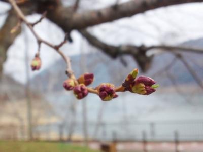 平成25年4月20日の荘川桜