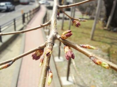 平成25年4月23日の荘川桜