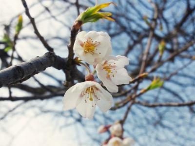 平成25年4月29日の荘川桜