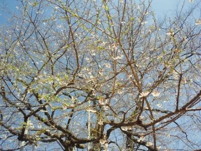 平成25年5月6日の荘川桜