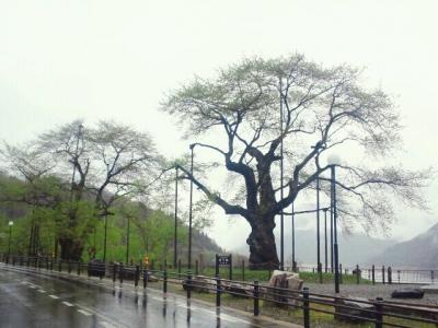 平成25年5月11日の荘川桜