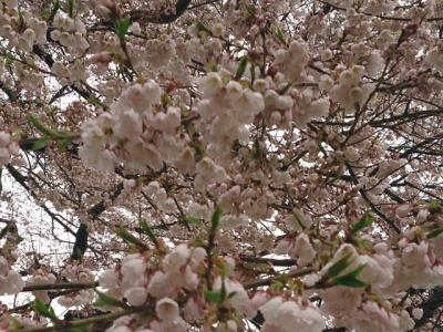平成26年4月29日の荘川桜
