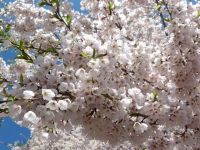 平成26年5月2日の荘川桜