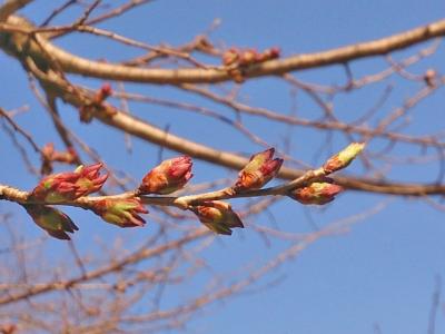 H27.4.25の荘川桜