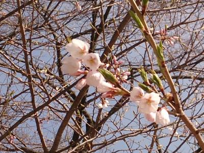 H27.4.29の荘川桜