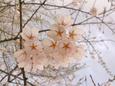 H27.4.30の荘川桜