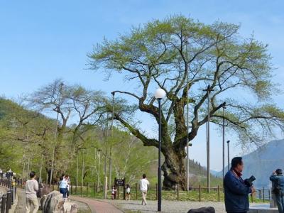 H27.5.3の荘川桜