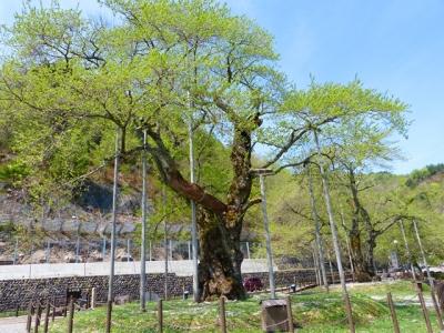 H27.5.6の荘川桜